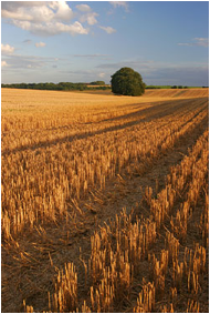 Field Stubble